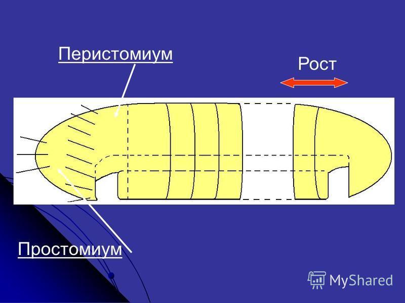Простомиум Перистомиум Рост
