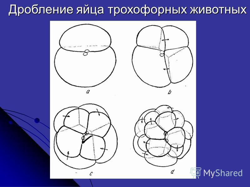 Дробление яйца трохофорных животных