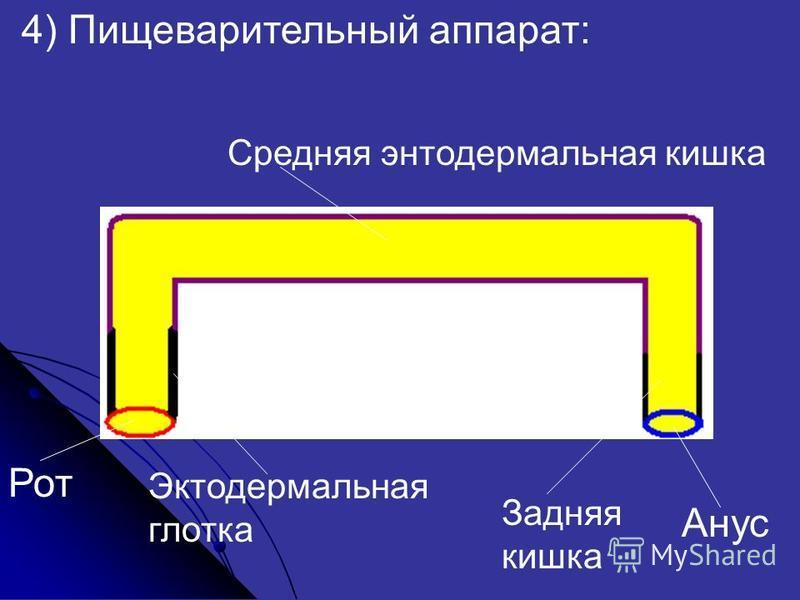 4) Пищеварительный аппарат: Рот Анус Средняя энтодермальная кишка Эктодермальная глотка Задняя кишка