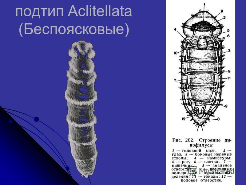 подтип Aclitellata (Беспоясковые)