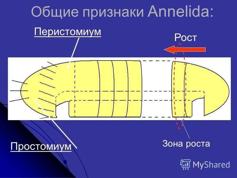 Простомиум Перистомиум Рост Общие признаки Annelida: Зона роста