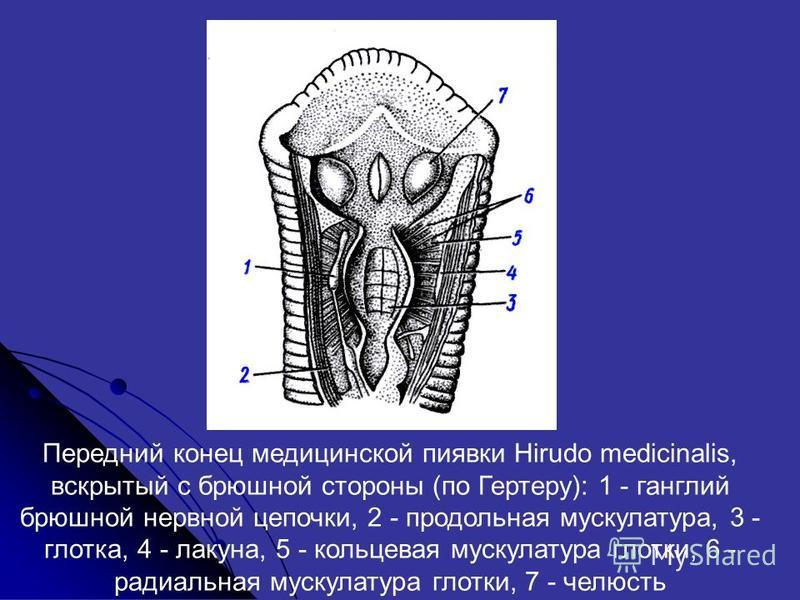 Передний конец медицинской пиявки Hirudo medicinalis, вскрытый с брюшной стороны (по Гертеру): 1 - ганглий брюшной нервной цепочки, 2 - продольная мускулатура, 3 - глотка, 4 - лакуна, 5 - кольцевая мускулатура глотки, 6 - радиальная мускулатура глотк