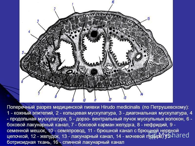 Поперечный разрез медицинской пиявки Hirudo medicinalis (по Петрушевскому): 1 - кожный эпителий, 2 - кольцевая мускулатура, 3 - диагональная мускулатура, 4 - продольная мускулатура, 5 - доризо- вентральный пучок мускульных волокон, 6 - боковой лакуна