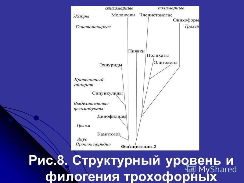 Рис.8. Структурный уровень и филогения трохофорных