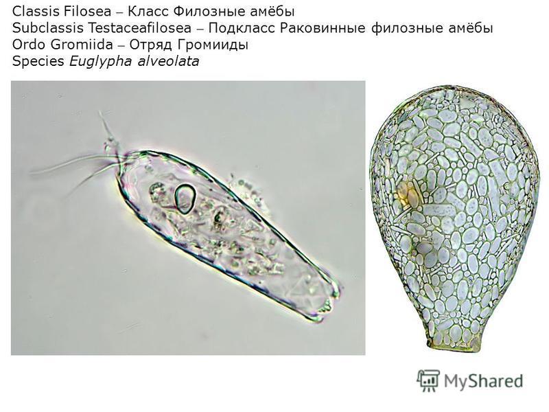Classis Filosea – Класс Филозные амёбы Subclassis Testaceafilosea – Подкласс Раковинные филозные амёбы Ordo Gromiida – Отряд Громииды Speсies Euglypha alveolata