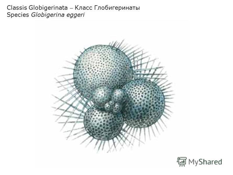 Classis Globigerinata – Класс Глобигеринаты Species Globigerina eggeri