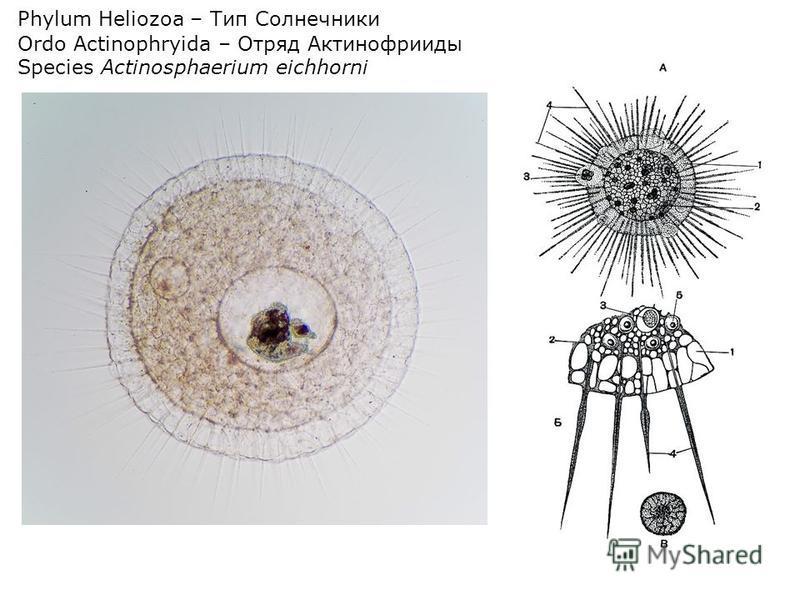 Phylum Heliozoa – Тип Солнечники Ordo Actinophryida – Отряд Актинофрииды Species Actinosphaerium eichhorni
