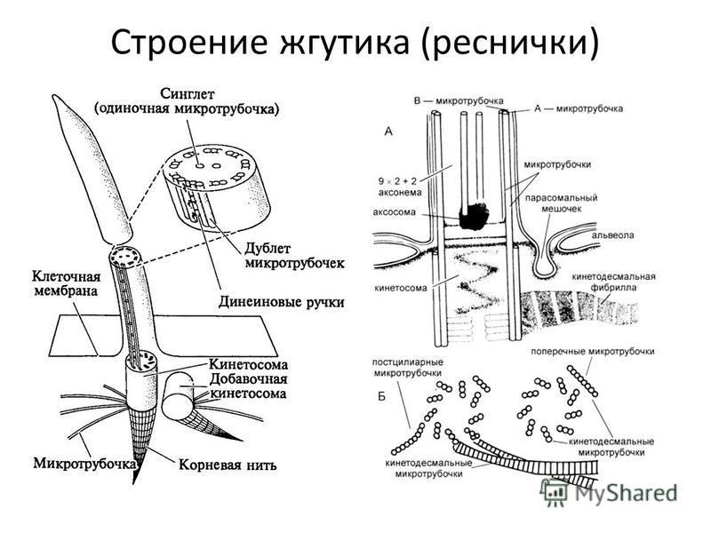 Строение жгутика (реснички)