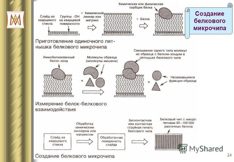 24 Создание белкового микрочипа