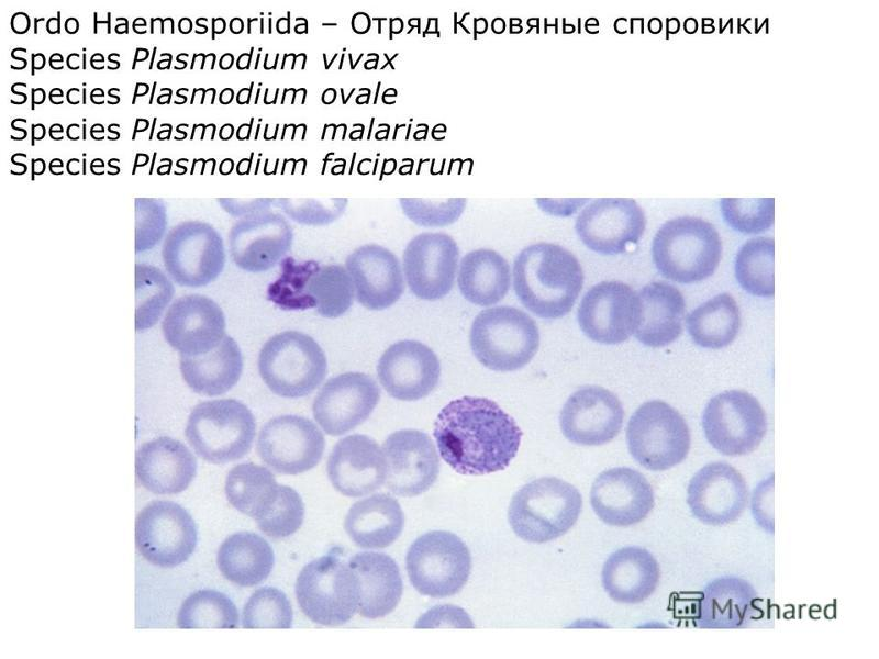 Ordo Haemosporiida – Отряд Кровяные споровики Species Plasmodium vivax Species Plasmodium ovale Species Plasmodium malariae Species Plasmodium falciparum