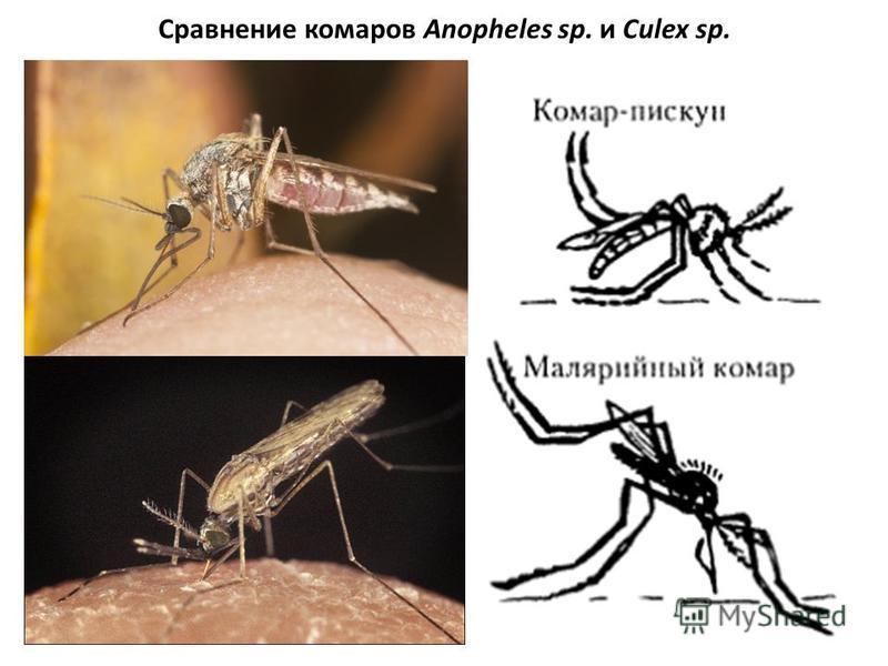 Сравнение комаров Anopheles sp. и Culex sp.