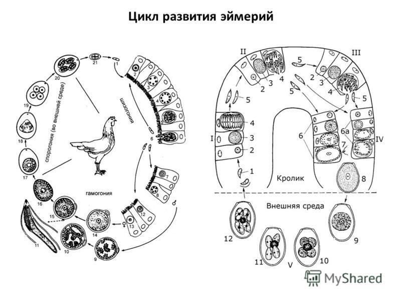 Цикл развития эймерий