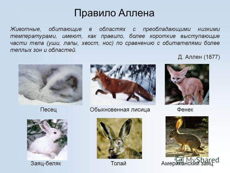 Правило Аллена Животные, обитающие в областях с преобладающими низкими температурами, имеют, как правило, более короткие выступающие части тела (уши, лапы, хвост, нос) по сравнению с обитателями более теплых зон и областей. Д. Аллен (1877) Песец Обык