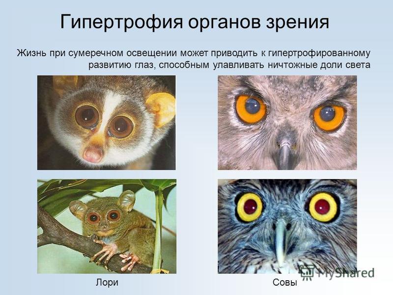 Гипертрофия органов зрения Жизнь при сумеречном освещении может приводить к гипертрофированному развитию глаз, способным улавливать ничтожные доли света Лори Совы