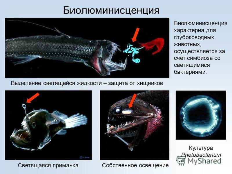 Биолюминисценция Выделение светящейся жидкости – защита от хищников Светящаяся приманка Собственное освещение Биолюминисценция характерна для глубоководных животных, осуществляется за счет симбиоза со светящимися бактериями. Культура Photobacterium