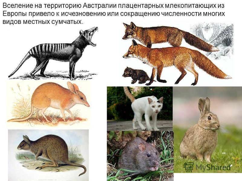 Вселение на территорию Австралии плацентарных млекопитающих из Европы привело к исчезновению или сокращению численности многих видов местных сумчатых.