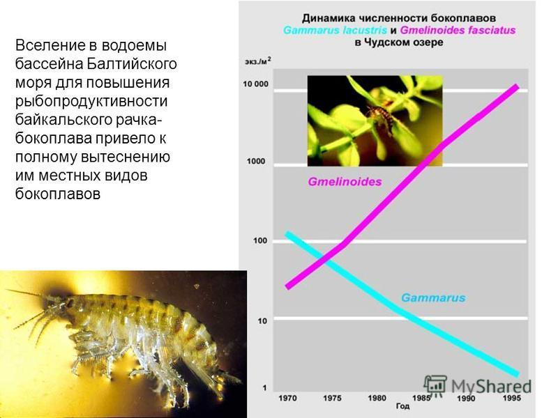 Вселение в водоемы бассейна Балтийского моря для повышения рыбопродуктивности байкальского рачка- бокоплава привело к полному вытеснению им местных видов бокоплавов