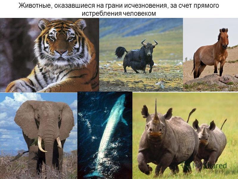 Животные, оказавшиеся на грани исчезновения, за счет прямого истребления человеком