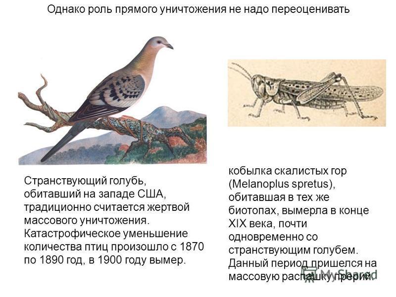 Однако роль прямого уничтожения не надо переоценивать кобылка скалистых гор (Melanoplus spretus), обитавшая в тех же биотопах, вымерла в конце XIX века, почти одновременно со странствующим голубем. Данный период пришелся на массовую распашку прерий.