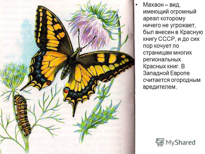 Махаон – вид, имеющий огромный ареал которому ничего не угрожает, был внесен в Красную книгу СССР, и до сих пор кочует по страницам многих региональных Красных книг. В Западной Европе считается огородным вредителем.