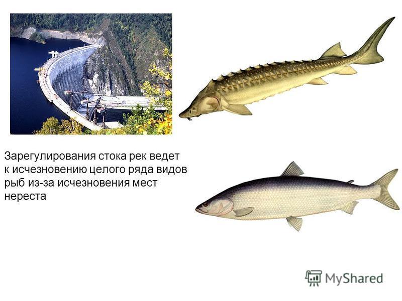 Зарегулирования стока рек ведет к исчезновению целого ряда видов рыб из-за исчезновения мест нереста