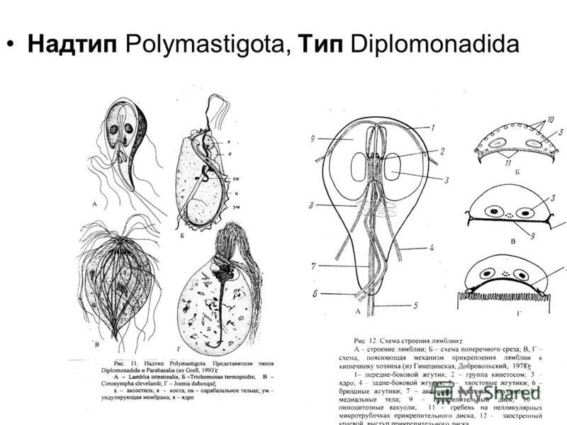 Надтип Polymastigota, Tип Diplomonadida