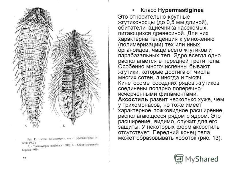 Класс Нуреrmastiginea Это относительно крупные жгутиконосцы (до 0,5 мм длиной), обитатели кщиечника насекомых, питающихся древесиной. Для них характерна тенденция к умножению (полимеризации) тех или иных органоидов, чаще всего жгутиков и парабазальны