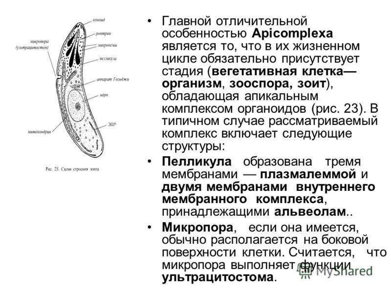 Главной отличительной особенностью Арiсоmplеха является то, что в их жизненном цикле обязательно присутствует стадия (вегетативная клетка организм, зооспора, зоит), обладающая апикальным комплексом органоидов (рис. 23). В типичном случае рассматривае