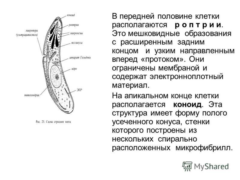 В передней половине клетки располагаются р о п т р и и. Это мешковидные образования с расширенным задним концом и узким направленным вперед «протоком». Они ограничены мембраной и содержат электронно плотный материал. На апикальном конце клетки распол