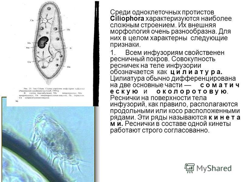 Среди одноклеточных протистов Ciliophora характеризуются наиболее сложным строением. Их внешняя морфология очень разнообразна. Для них в целом характерны следующие признаки. 1. Всем инфузориям свойственен ресничный покров. Совокупность ресничек на те