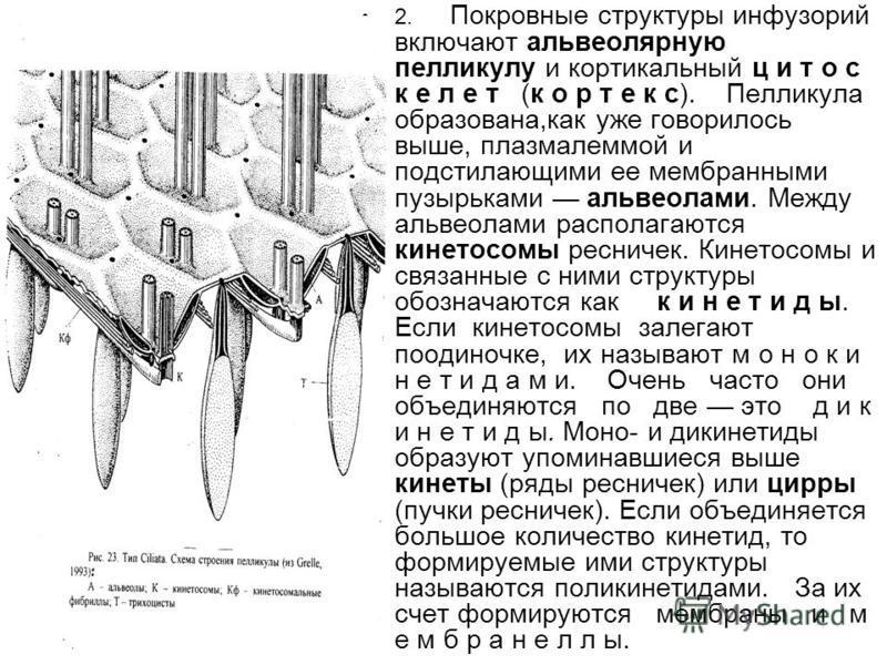2. Покровные структуры инфузорий включают альвеолярную пелликулу и кортикальный ц и т о с к е л е т (к о р т е к с). Пелликула образована,как уже говорилось выше, плазмалеммой и подстилающими ее мембранными пузырьками альвеолами. Между альвеолами рас