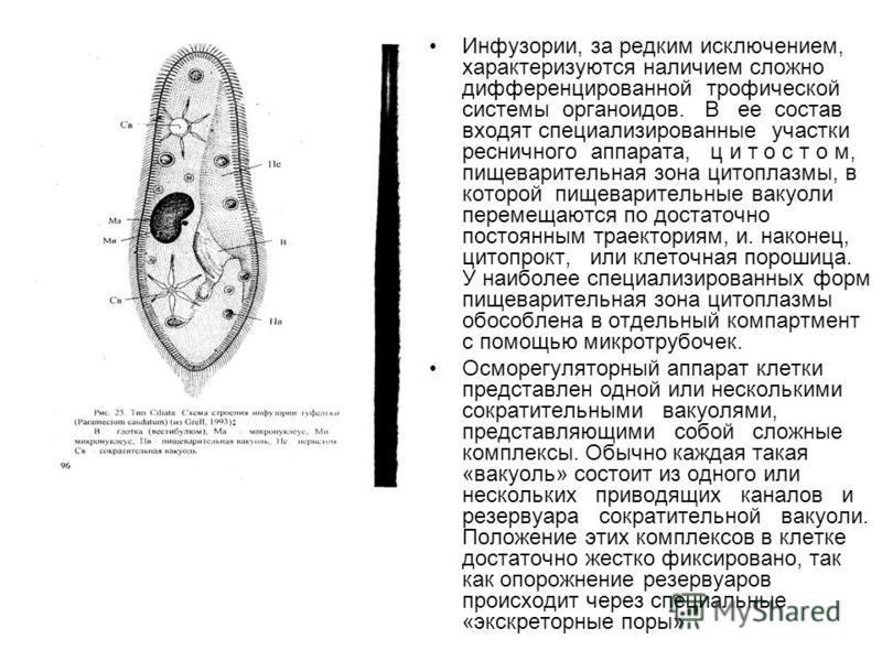 Инфузории, за редким исключением, характеризуются наличием сложно дифференцированной трофической системы органоидов. В ее состав входят специализированные участки ресничного аппарата, ц и т о с т о м, пищеварительная зона цитоплазмы, в которой пищева