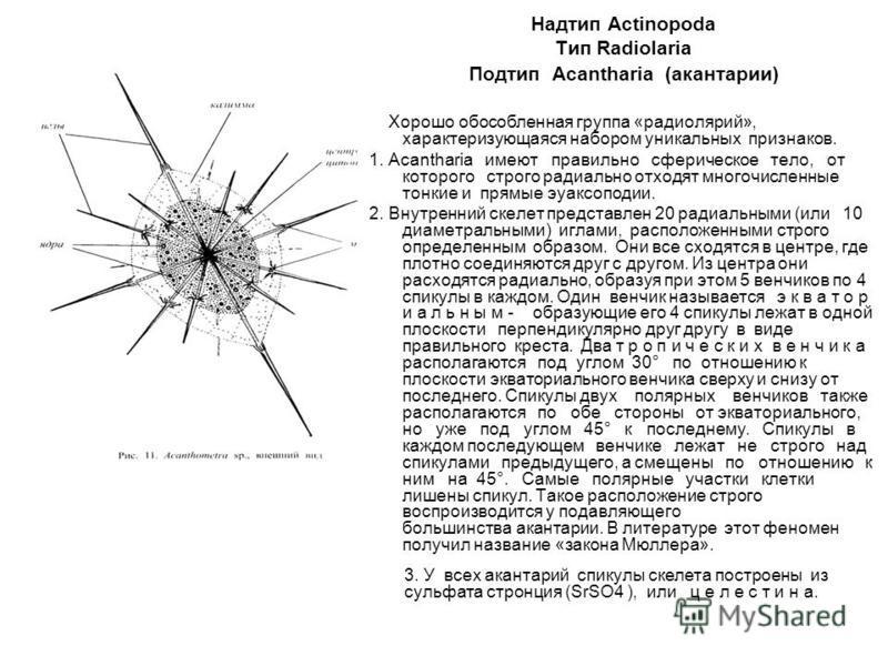 Надтип Actinopoda Тип Radiolaria Подтип Acantharia (акантарии) Хорошо обособленная группа «радиолярий», характеризующаяся набором уникальных признаков. 1. Acantharia имеют правильно сферическое тело, от которого строго радиально отходят многочисленны