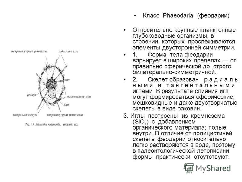 Класс Phaeodaria (феодарии) Относительно крупные планктонные глубоководные организмы, в строении которых прослеживаются элементы двасторонней симметрии. 1. Форма тела феодарии варьирует в широких пределах от правильно сферической до строго билатераль