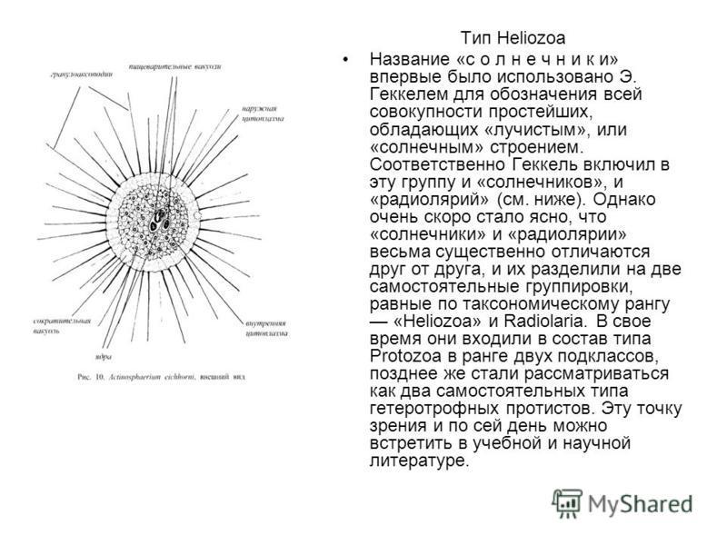Тип Heliozoa Название «с о л н е ч н и к и» впервые было использовано Э. Геккелем для обозначения всей совокупности простейших, обладающих «лучистым», или «солнечным» строением. Соответственно Геккель включил в эту группу и «солнечников», и «радиоляр