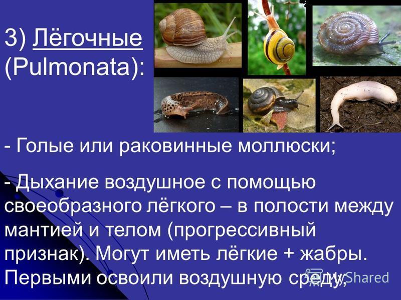 3) Лёгочные (Pulmonata): - Голые или раковинные моллюски; - Дыхание воздушное с помощью своеобразного лёгкого – в полости между мантией и телом (прогрессивный признак). Могут иметь лёгкие + жабры. Первыми освоили воздушную среду;