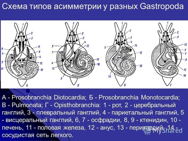 А - Prosobranchia Diotocardia; Б - Prosobranchia Monotocardia; В - Pulmonata; Г - Opisthobranchia: 1 - рот, 2 - церебральный ганглий, 3 - плевральный ганглий, 4 - париетальный ганглий, 5 - висцеральный ганглий, 6, 7 - осфрадии, 8, 9 - ктенидин, 10 -