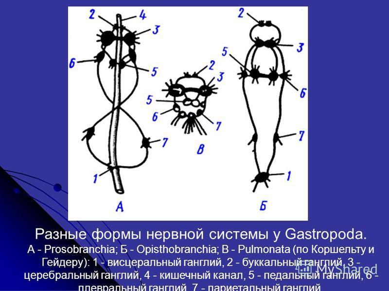 Разные формы нервной системы у Gastropoda. А - Ргоsobranchia; Б - Opisthobranchia; В - Pulmonata (по Коршельту и Гейдеру): 1 - висцеральный ганглий, 2 - буккальный ганглий, 3 - церебральный ганглий, 4 - кишечный канал, 5 - педальный ганглий, 6 - плев