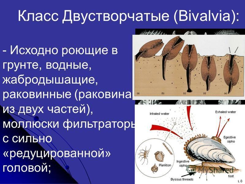 Класс Двустворчатые (Bivalvia): - Исходно роющие в грунте, водные, жабродышащие, раковинные (раковина из двух частей), моллюски фильтраторы с сильно «редуцированной» головой;