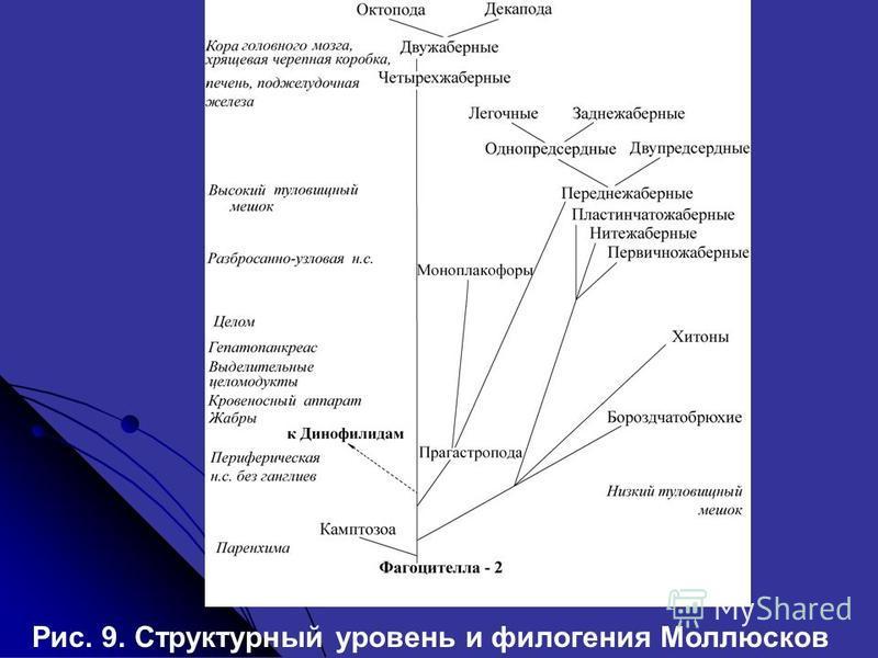 Рис. 9. Структурный уровень и филогения Моллюсков