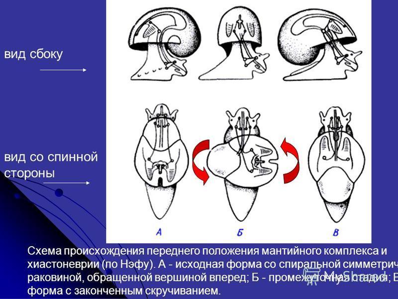 Схема происхождения переднего положения мантийного комплекса и хиастоневрии (по Нэфу). А - исходная форма со спиральной симметричной раковиной, обращенной вершиной вперед; Б - промежуточная стадия; В - форма с законченным скручиванием. вид сбоку вид