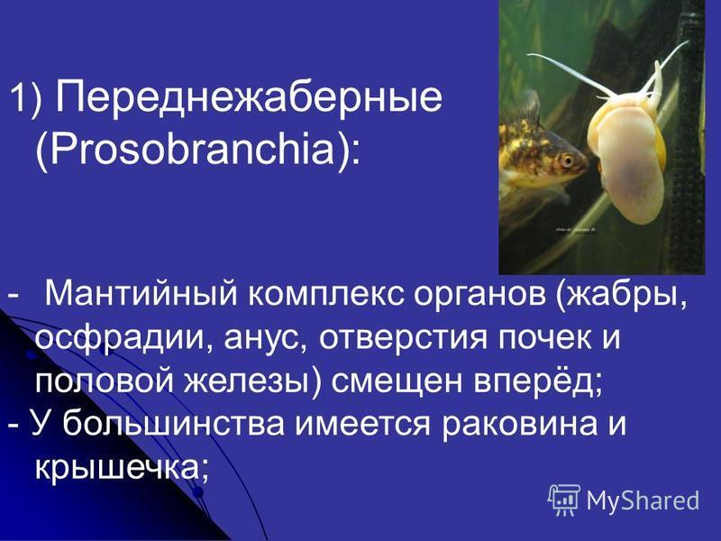 1) Переднежаберные (Prosobranchia): - Мантийный комплекс органов (жабры, осфрадии, анус, отверстия почек и половой железы) смещен вперёд; - У большинства имеется раковина и крышечка;