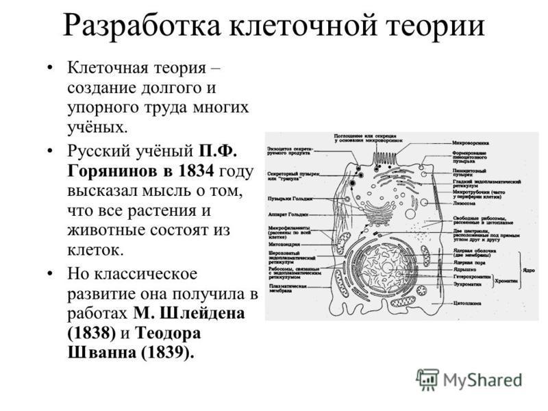 Разработка клеточной теории Клеточная теория – создание долгого и упорного труда многих учёных. Русский учёный П.Ф. Горянинов в 1834 году высказал мысль о том, что все растения и животные состоят из клеток. Но классическое развитие она получила в раб