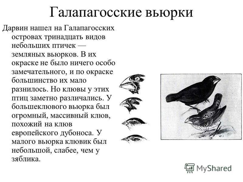 Галапагосские вьюрки Дарвин нашел на Галапагосских островах тринадцать видов небольших птичек земляных вьюрков. В их окраске не было ничего особо замечательного, и по окраске большинство их мало разнилось. Но клювы у этих птиц заметно различались. У