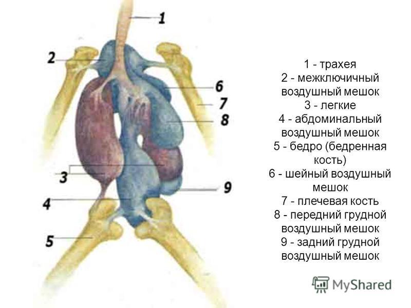1 - трахея 2 - межключичный воздушный мешок 3 - легкие 4 - абдоминальный воздушный мешок 5 - бедро (бедренная кость) 6 - шейный воздушный мешок 7 - плечевая кость 8 - передний грудной воздушный мешок 9 - задний грудной воздушный мешок
