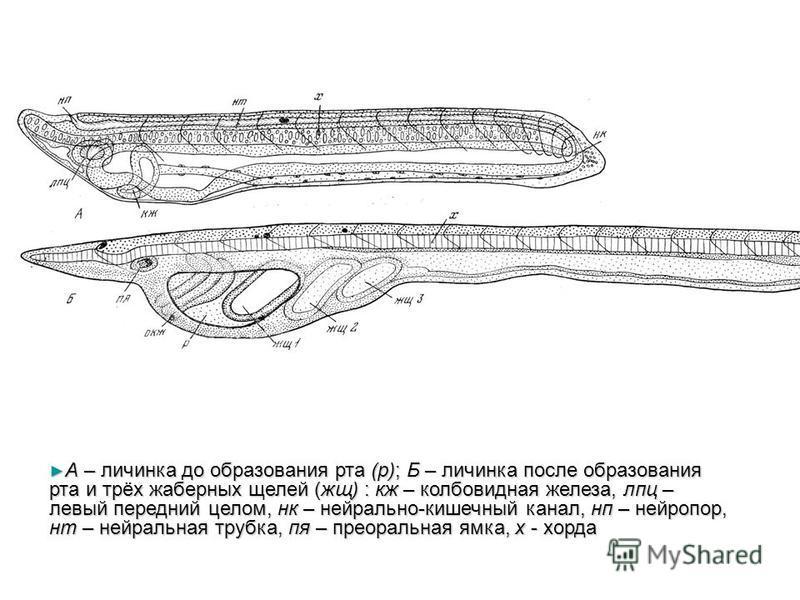 А – личинка до образования рта (р); Б – личинка после образования рта и трёх жаберных щелей (жщ) : кж – колбовидная железа, лпц – левый передний целом, нк – нейрально-кишечный канал, нп – нейропор, нт – нейральная трубка, по – преоральная ямка, х - х
