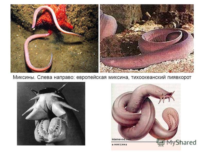 Миксины. Слева направо: европейская миксина, тихоокеанский пиявкорот