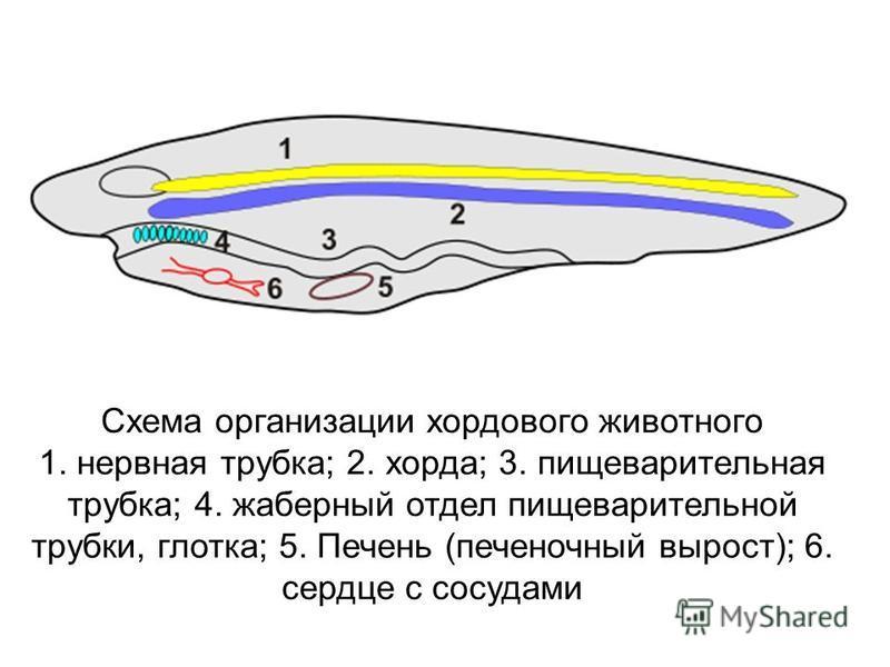 Схема организации хордового животного 1. нервная трубка; 2. хорда; 3. пищеварительная трубка; 4. жаберный отдел пищеварительной трубки, глотка; 5. Печень (печеночный вырост); 6. сердце с сосудами