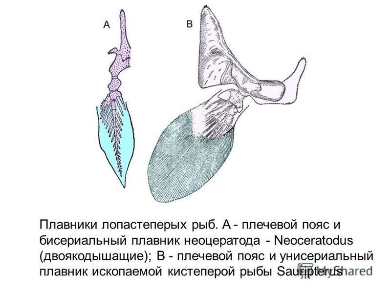 Плавники лопастеперых рыб. A - плечевой пояс и бисериальный плавник неоцератода - Neoceratodus (двоякодышащие); B - плечевой пояс и унисериальный плавник ископаемой кистеперой рыбы Sauripterus
