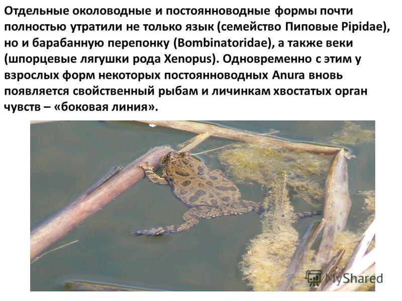 Отдельные околоводные и постоянно водные формы почти полностью утратили не только язык (семейство Пиповые Pipidae), но и барабанную перепонку (Bombinatoridae), а также веки (шпорцевые лягушки рода Xenopus). Одновременно с этим у взрослых форм некотор